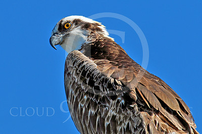 Osprey 00003 An adult osprey looks down, by Peter J Mancus