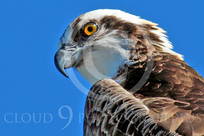 Osprey 00012 A tight crop view of an adult osprey looking down, by Peter J Mancus