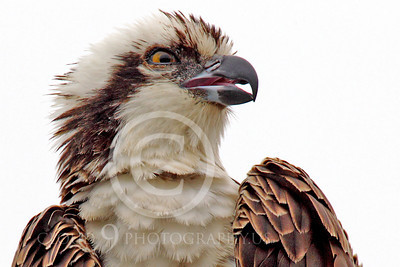 Osprey 00016 A tight head and should portrait of an adult osprey with an open beak, by Peter J Mancus