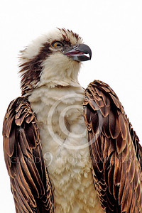 Osprey 00005 An adult osprey with an open beak, by Peter J Mancus