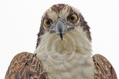 Osprey 00002 A tight shoulder and head crop portrait of a mature osprey, by Peter J Mancus