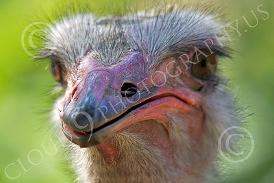 Ostrich 00008 Close up portrait of an ostrich by Peter J Mancus
