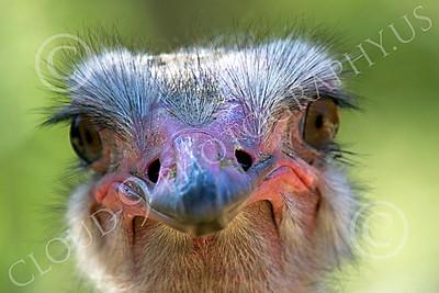 Ostrich 00005 Close up portrait of an ostrich by Peter J Mancus
