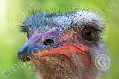 Ostrich 00003 Close up portrait of an ostrich by Peter J Mancus