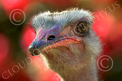 Ostrich 00004 Close up portrait of an ostrich by Peter J Mancus