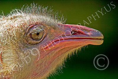 Ostrich 00001 Close up portrait of an ostrich by Peter J Mancus