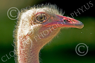 Ostrich 00006 Close up portrait of an ostrich by Peter J Mancus
