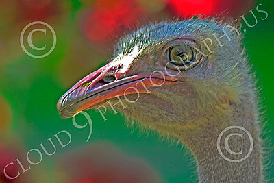 Ostrich 00002 Close up portrait of an ostrich by Peter J Mancus