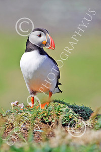 AN - Puffin 00003 by Tony Fairey