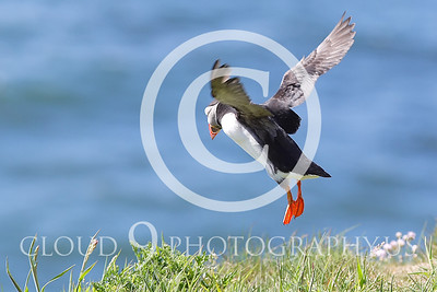 AN - Puffin 00026 by Tony Fairey
