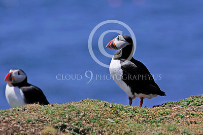 AN - Puffin 00021 by Tony Fairey