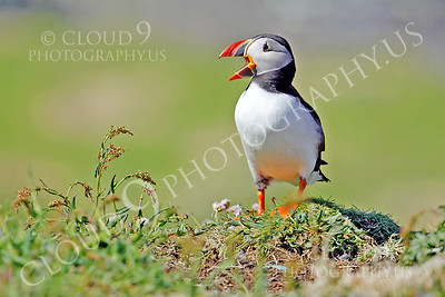 AN - Puffin 00018 by Tony Fairey
