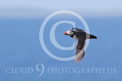 AN - Puffin 00027 by Tony Fairey