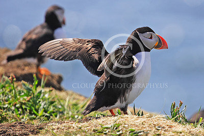 AN - Puffin 00007 by Tony Fairey