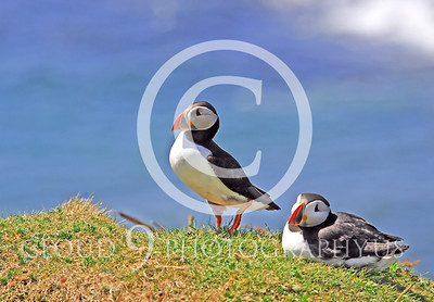 AN - Puffin 00019 by Tony Fairey