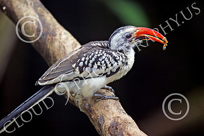 Red-Billed Hornbill 00001 Red-billed hornbill on a branch with food, by Peter J Mancus