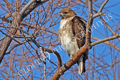 AN-Red Tail Hawk 00047 Red tail hawk by Peter J Mancus