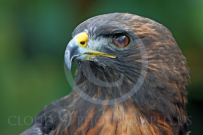 AN-Red-Tailed Hawk 00031 by Peter J Mancus