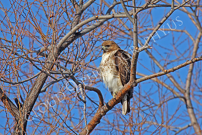 AN-Red Tail Hawk 00011 Red tail hawk by Peter J Mancus