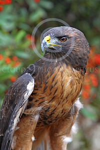 AN-Red-Tailed Hawk 00032 by Peter J Mancus
