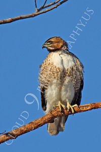 AN-Red Tail Hawk 00026 Red tail hawk by Peter J Mancus