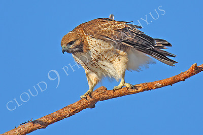 AN-Red Tail Hawk 00043 Red tail hawk by Peter J Mancus