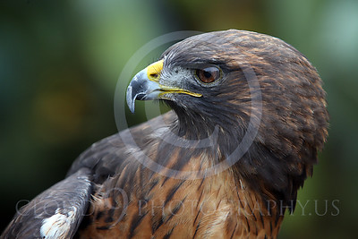 AN-Red-Tailed Hawk 00030 by Peter J Mancus