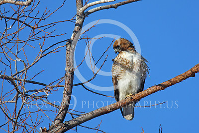 AN-Red Tail Hawk 00005 Juvenile red tail hawk looks down from a tree by Peter J Mancus
