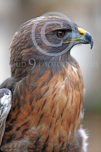AN-Red-Tailed Hawk 00035 by Peter J Mancus