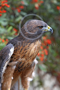AN-Red-Tailed Hawk 00034 by Peter J Mancus
