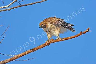 AN-Red Tail Hawk 00027 Red tail hawk by Peter J Mancus