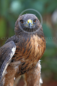 AN-Red-Tailed Hawk 00033 by Peter J Mancus
