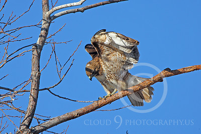 AN-Red Tail Hawk 00008 Red tail hawk lands on a tree branch by Peter J Mancus