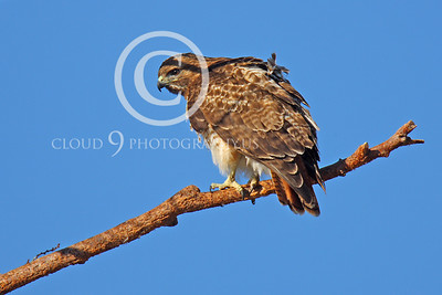 AN-Red Tail Hawk 00024 Red tail hawk turns around on a tree branch by Peter J Mancus