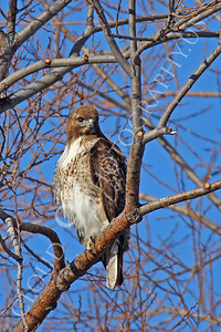 AN-Red Tail Hawk 00013 Red tail hawk by Peter J Mancus