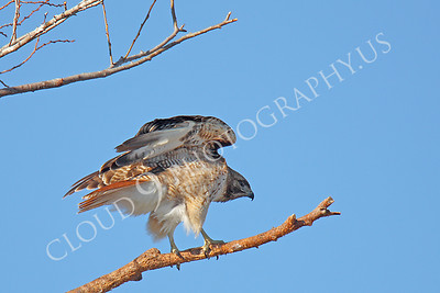 AN-Red Tail Hawk 00012 Red tail hawk in a tree by Peter J Mancus