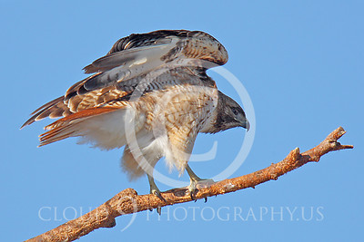 AN-Red Tail Hawk 00004 Red tail hawk in a tree by Peter J Mancus