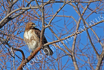 AN-Red Tail Hawk 00025 Red tail hawk by Peter J Mancus
