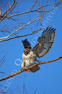 AN-Red Tail Hawk 00003 Red tail hawk spreads its wings by Peter J Mancus