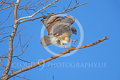 AN-Red Tail Hawk 00002 Red tailed hawk lands in a tree by Peter J Mancus