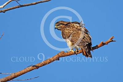 AN-Red Tail Hawk 00006 Red tail hawk turns around on a tree branch by Peter J Mancus