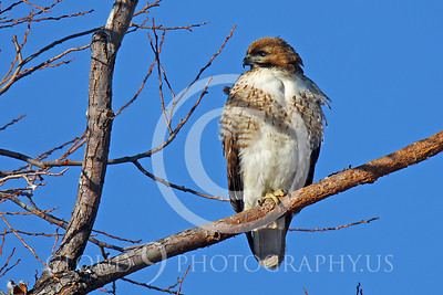 AN-Red Tail Hawk 00007 Juvenile Red tail hawk sitting in a tree by Peter J Mancus