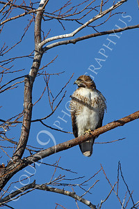 AN-Red Tail Hawk 00001 Juvenile red tail hawk by Peter J Mancus