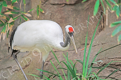 Red-crowned Crane 00006 by Peter J Mancus
