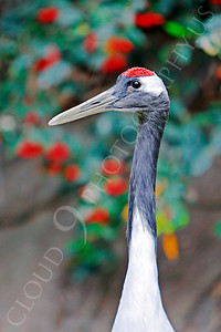 Red-crowned Crane 00003 by Peter J Mancus