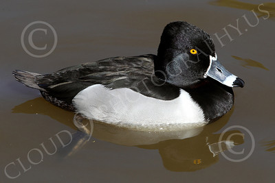 Ring-Necked Duck 00002 A floating ring-necked duck, by Peter J Mancus