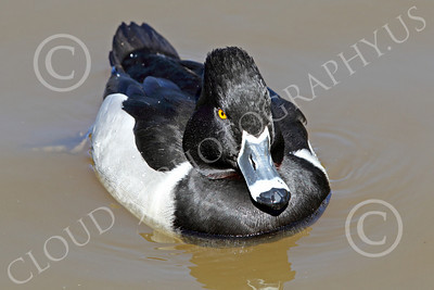 Ring-Necked Duck 00003 A floating ring-necked duck, by Peter J Mancus