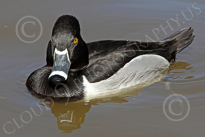 Ring-Necked Duck 00001 A floating ring-necked duck, by Peter J Mancus