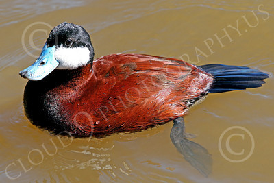 Ruddy Duck 00001 A floating ruddy duck with a temporary breeding blue bill, by Peter J Mancus