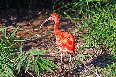 Scarlet ibis 00001 by Peter J Mancus